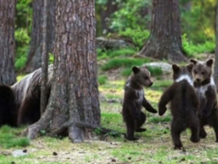 Cuccioli d'orso che ballano